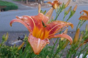 daylily at home